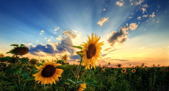 Човек е толкова голям, колкото големи са мечтите му или как слънчогледът получи името си